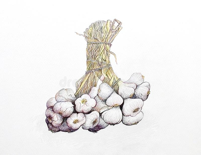 Hand Drawn of Garlic on White Background. Bulb & Stem Vegetable, Illustration of Hand Drawn Sketch of A Dried Garlic Bulb Used for Seasoning in Cooking on White royalty free illustration