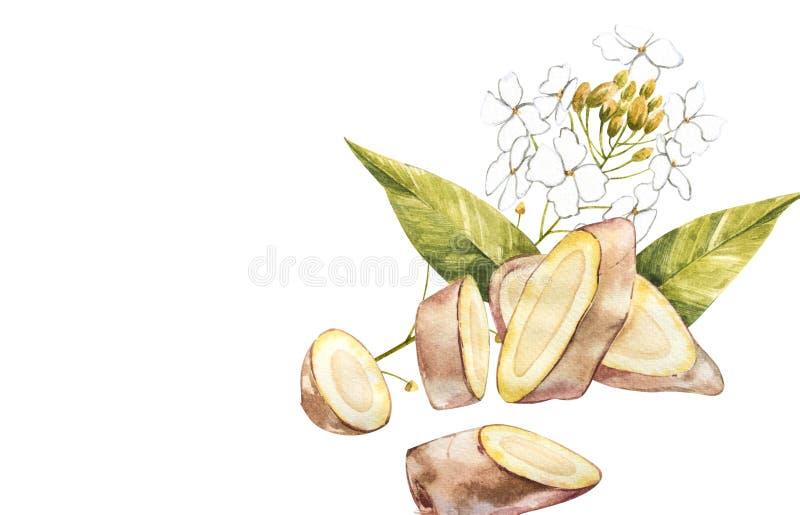 Hand Drawn Ginger watercolor sketch. Illustration For Food Design. vector illustration