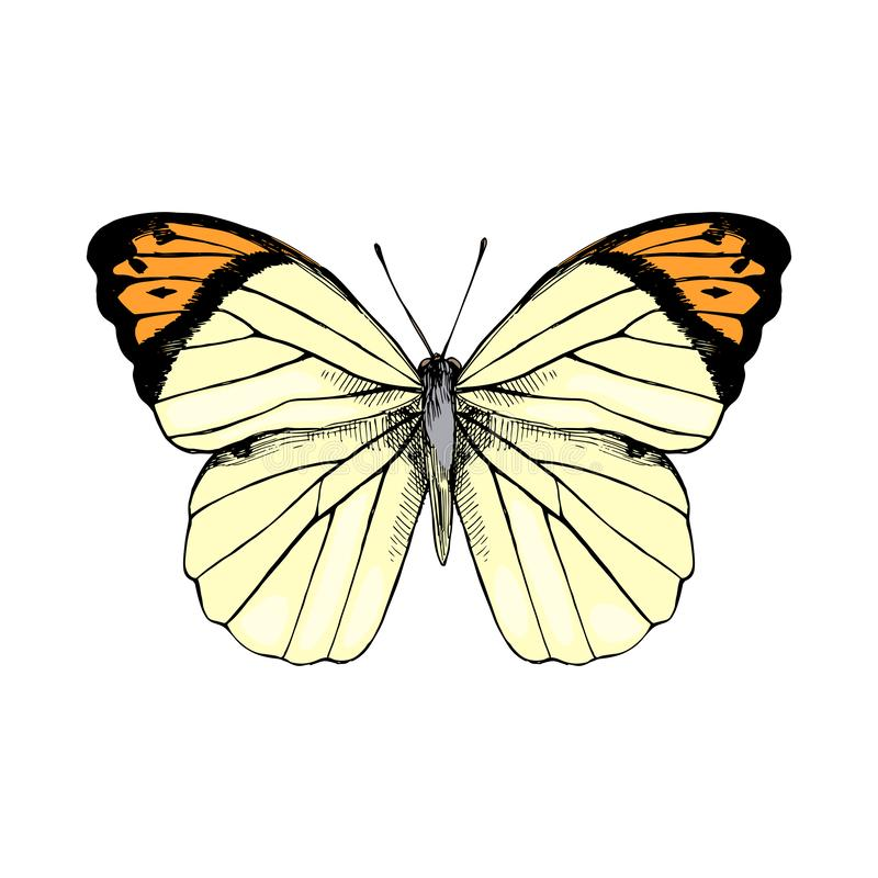 Hand drawn Great Orange Tip - Hebomoia glaucippe - butterfly stock illustration