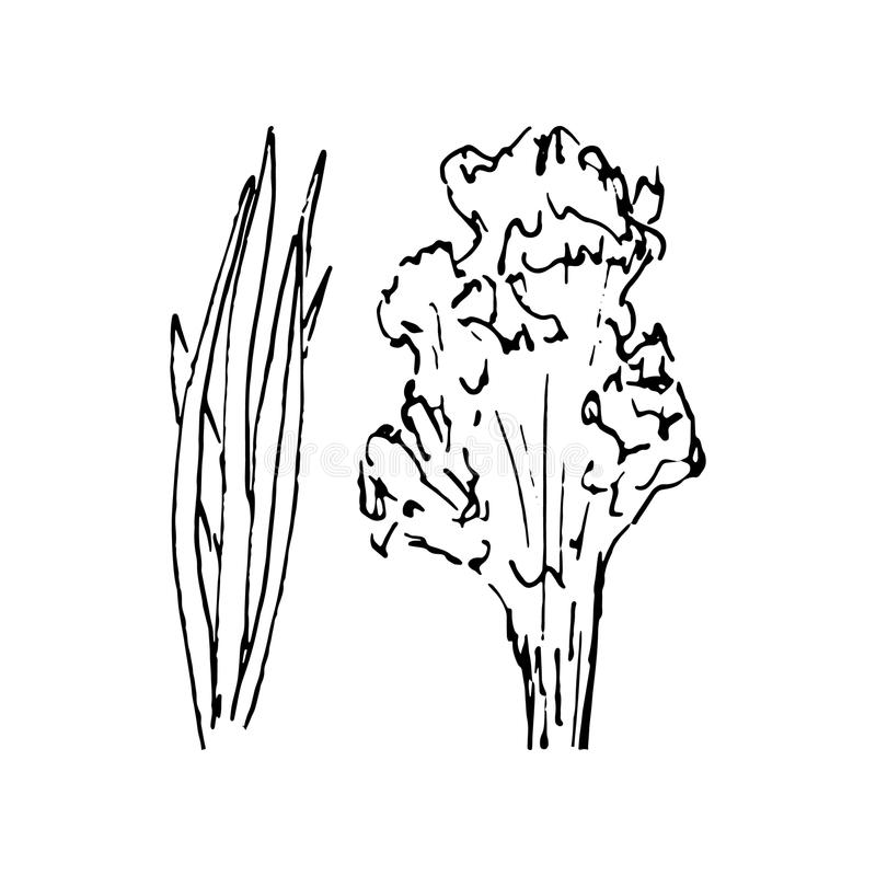 Hand Drawn greenery doodle. Sketch style icon. Decoration element. Isolated on white background. Flat design. Vector illustration royalty free illustration