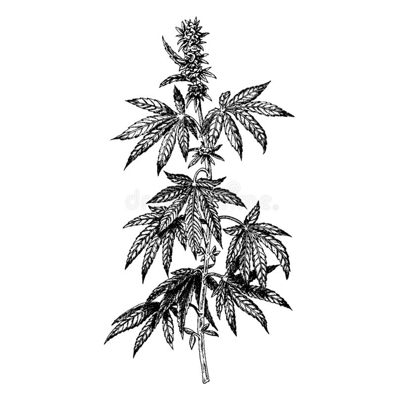 Hand drawn hemp plant with cones. Cannabis branch with leaves. Vector sketch of marijuana twig stock illustration
