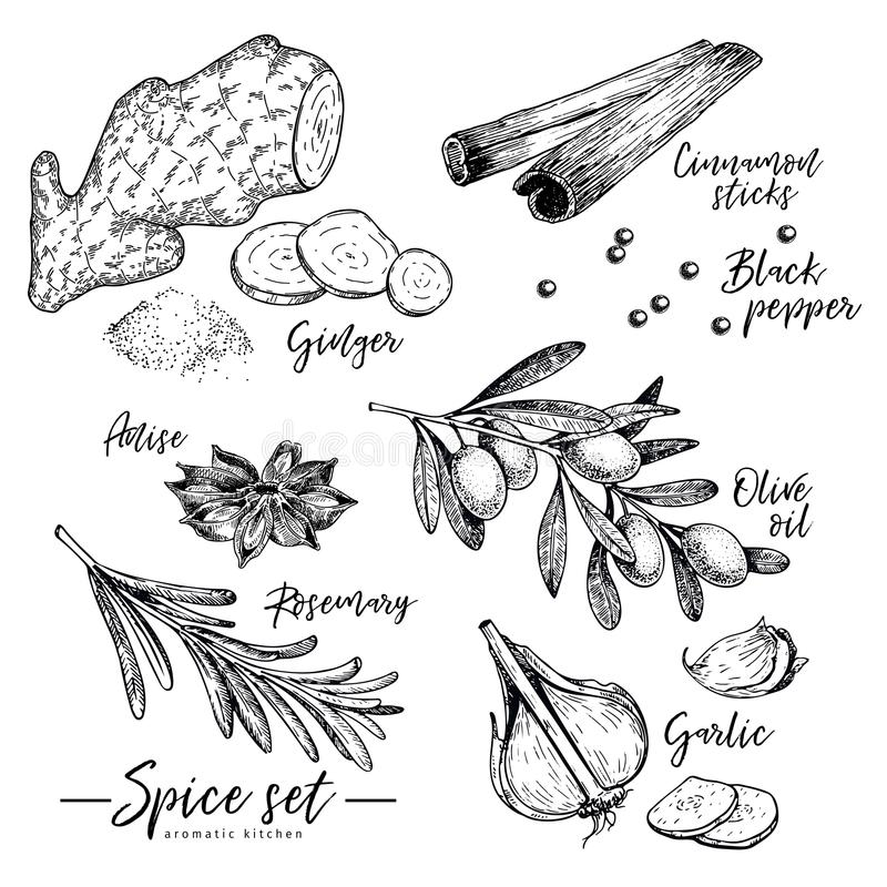 Hand drawn herbs, spices and condiments set. Vector ginger, cinnamon, anise, olive oil, rosemary and garlic icons. Engraved illustration. Use for restaurant vector illustration