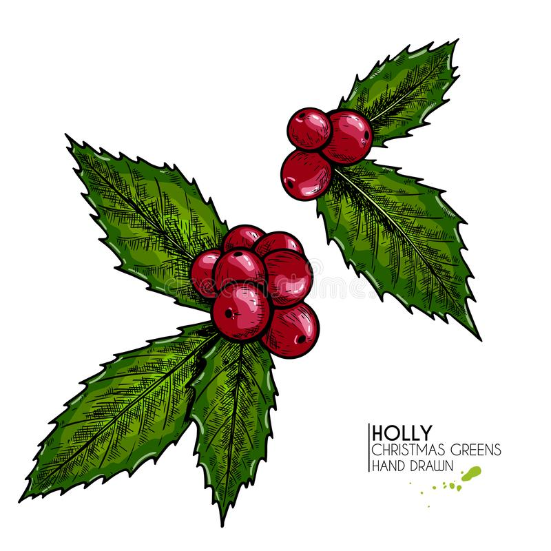 Hand drawn holly. Vector colored illustration. Christmas greenery. Engraved berries and leaves isolated on white stock illustration