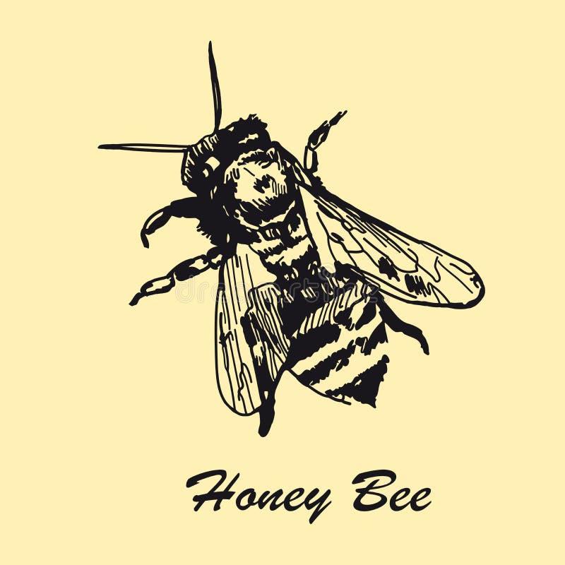 Hand drawn honey bee. Vintage design sketched illustration. stock illustration