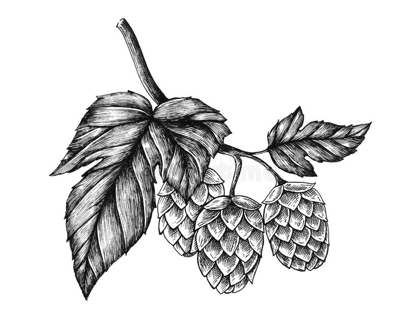 Hand-drawn hops, flavouring and stability agent in beer stock illustration