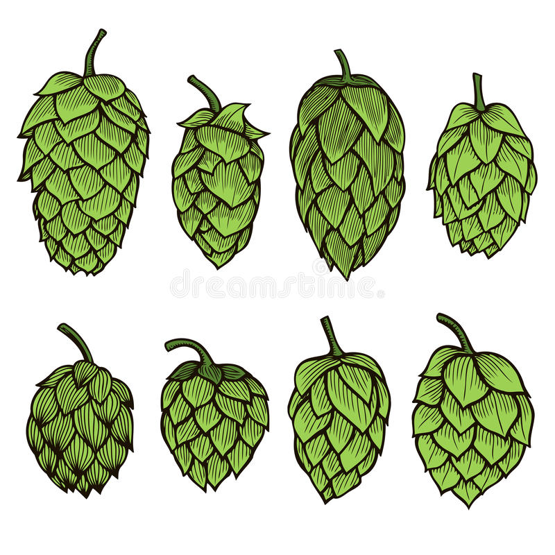 Hand drawn Hops set. Colored Hand drawn engraving style Hops set. Common hop or Humulus lupulus branch with leaves and cones. Vector illustration stock illustration