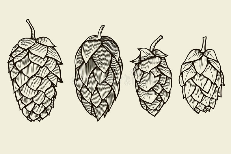 Hand drawn Hops set. Hand drawn engraving style Hops set. Common hop or Humulus lupulus branch with leaves and cones. Vector illustration royalty free illustration
