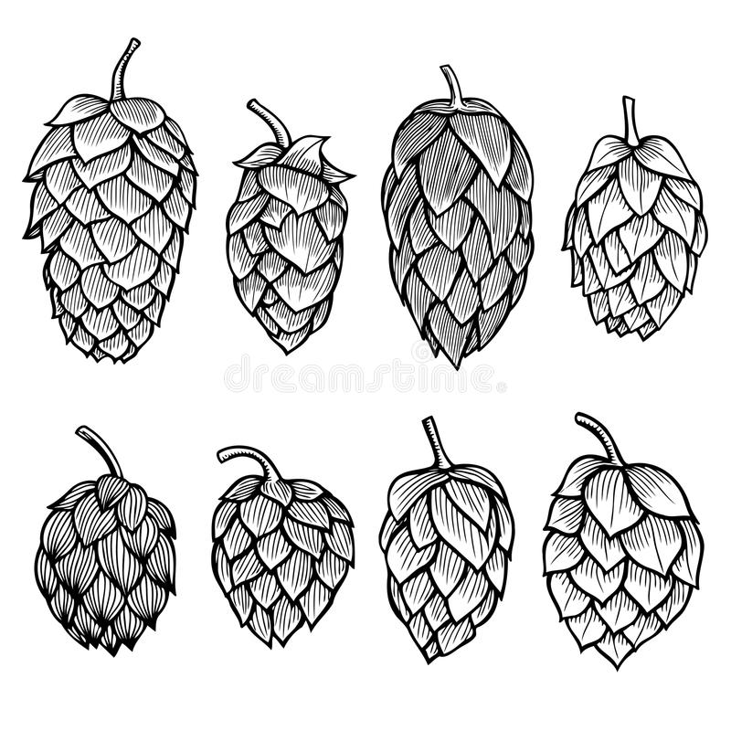 Hand drawn Hops set. Hand drawn engraving style Hops set. Common hop or Humulus lupulus branch with leaves and cones. Vector illustration vector illustration