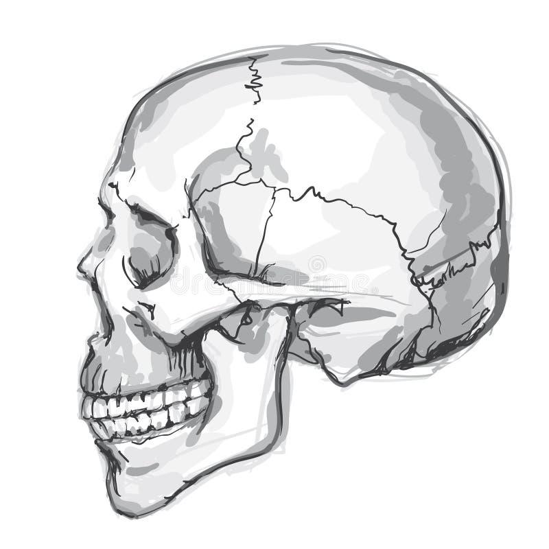 Hand drawn human skull stock illustration