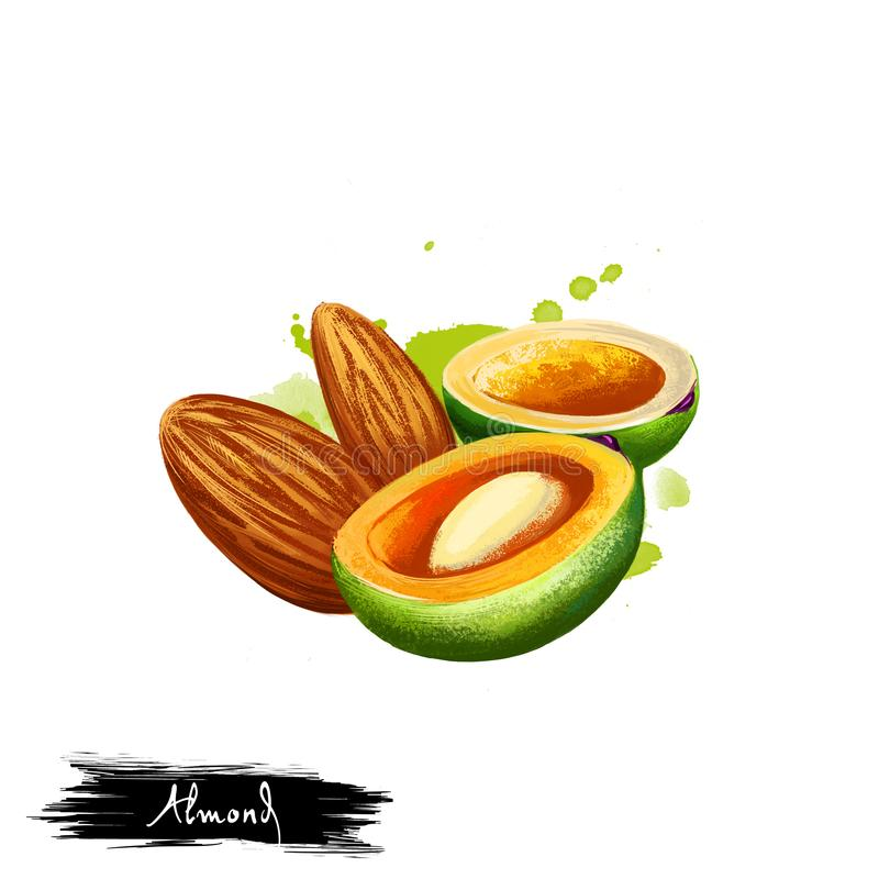 Hand drawn illustration of Almond nut or Prunus dulcis isolated on white background. Organic healthy food. Digital art with paint. Almond nut or Prunus dulcis royalty free stock photos