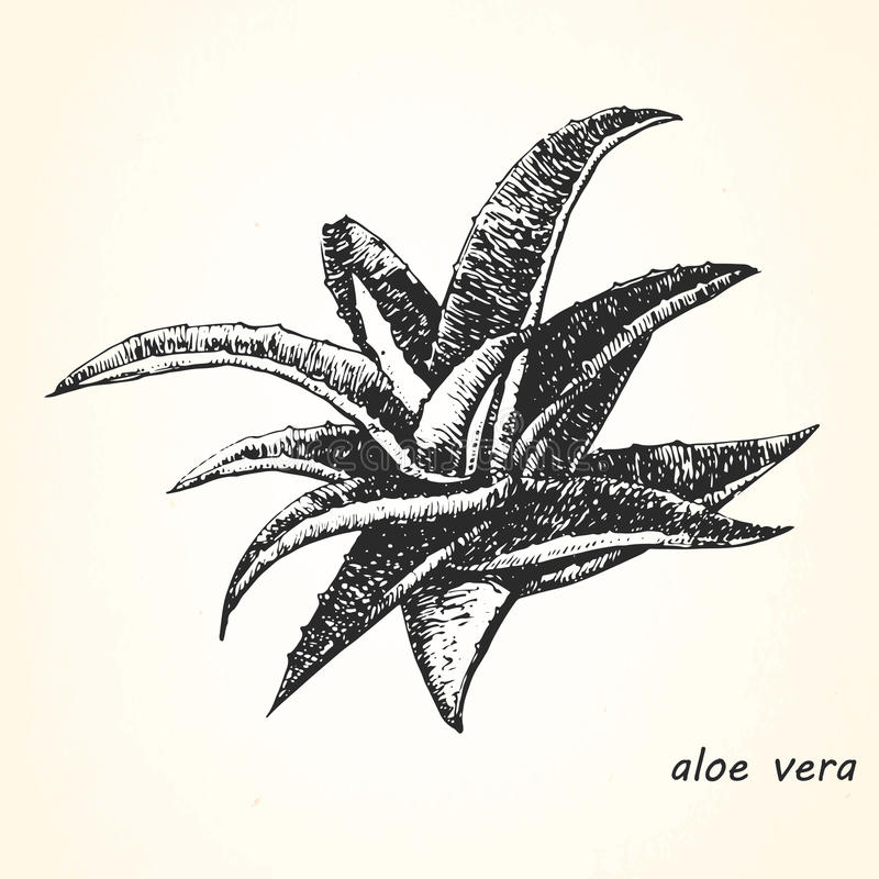 Hand-drawn illustration of Aloe Vera. royalty free illustration