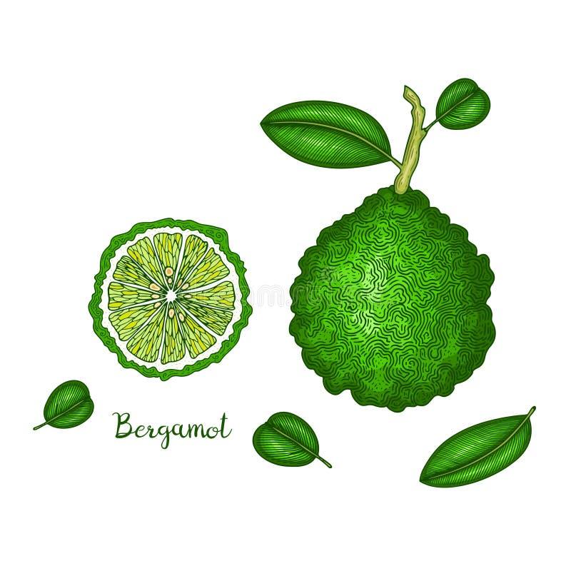 Hand drawn illustration of bergamot isolated on white background. Fruit engraved style illustration. Detailed vegetarian stock illustration