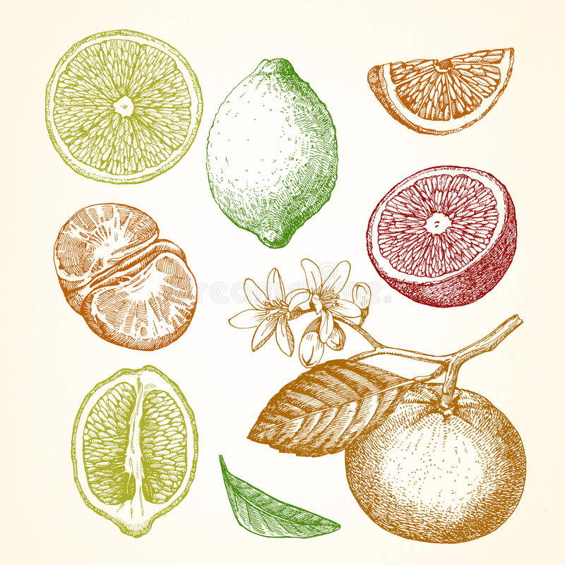 Hand drawn illustration with citrus fruits. Lemon, orange, mandarin. Vector royalty free illustration
