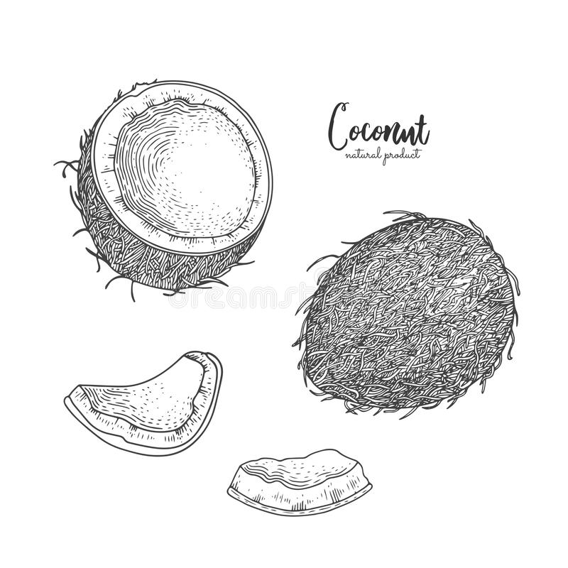 Hand drawn illustration of coconut isolated on white background. Engraved art. Tropical vegetarian objects. Use for royalty free illustration