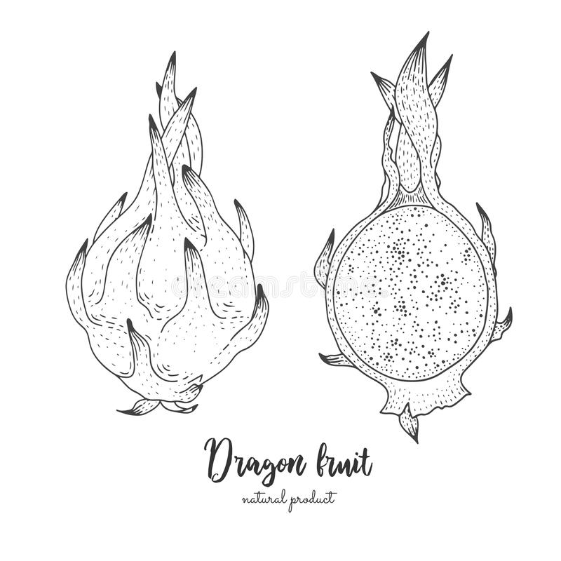 Hand drawn illustration of dragon fruit isolated on white background. Engraved art. Tropical vegetarian objects. Use for vector illustration