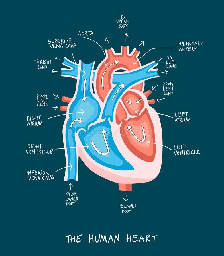 Hand Drawn Illustration Of Human Heart Anatomy Educational Dia