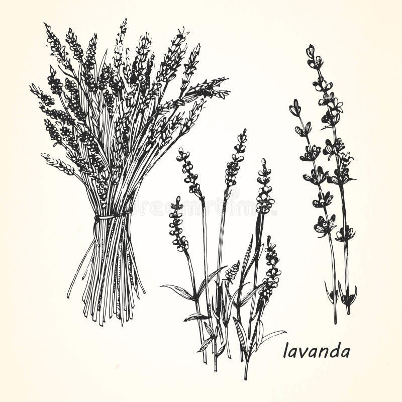 Hand-drawn illustration of Lavender. royalty free illustration