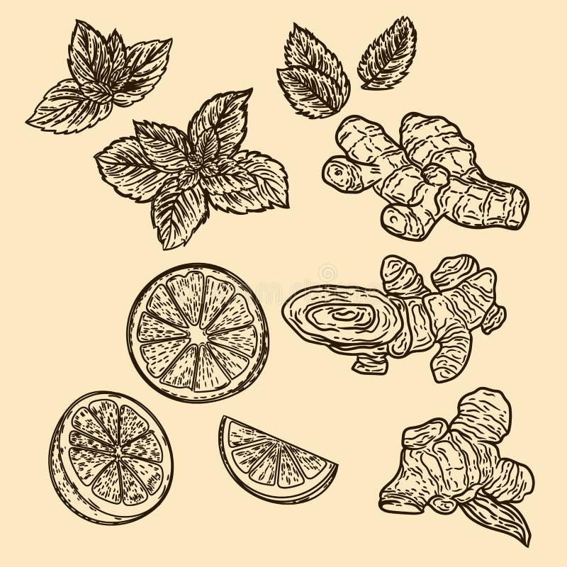 Hand drawn illustration of mint, lemon and ginger in the engraving stock illustration