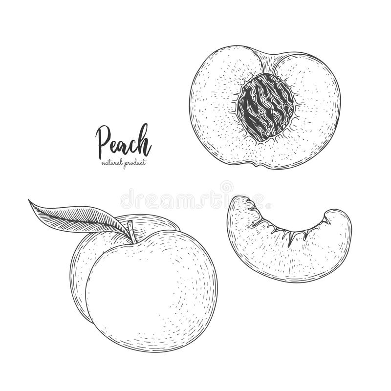 Hand drawn illustration of peach isolated on white background. Fruit engraved style illustration. Detailed vegetarian food. Applic royalty free illustration