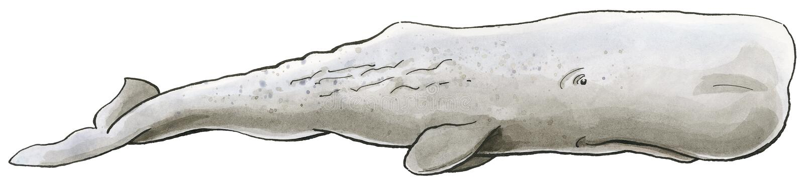 Hand-drawn illustration of a Sperm Whale Physeter macrocephalus royalty free illustration