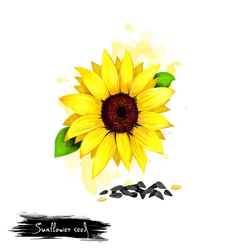 Hand drawn illustration of Sunflower seeds or Helianthus annuus isolated on white background. Organic healthy food. Digital art stock photos