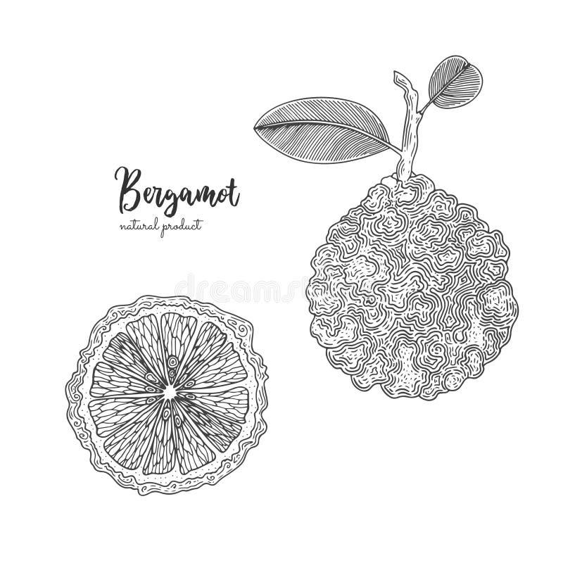 Hand drawn illustrations of bergamot isolated on white background. Hand drawn elements for menu, promotion, advertising stock illustration