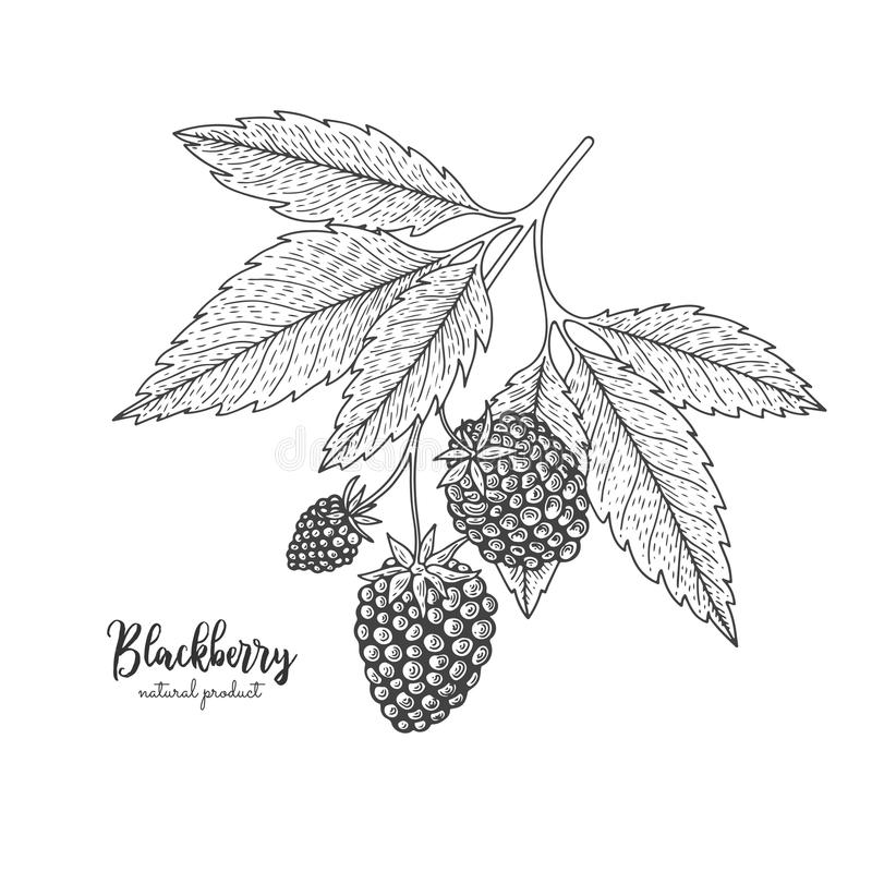 Hand drawn illustrations of blackberry isolated on white background. Vintage botanical engraving illustration of royalty free illustration