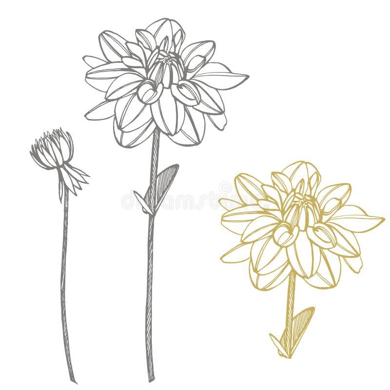Hand-drawn ink dahlias. Floral elements. Graphic flowers illustrations. Botanical plant illustration. Vintage medicinal royalty free illustration