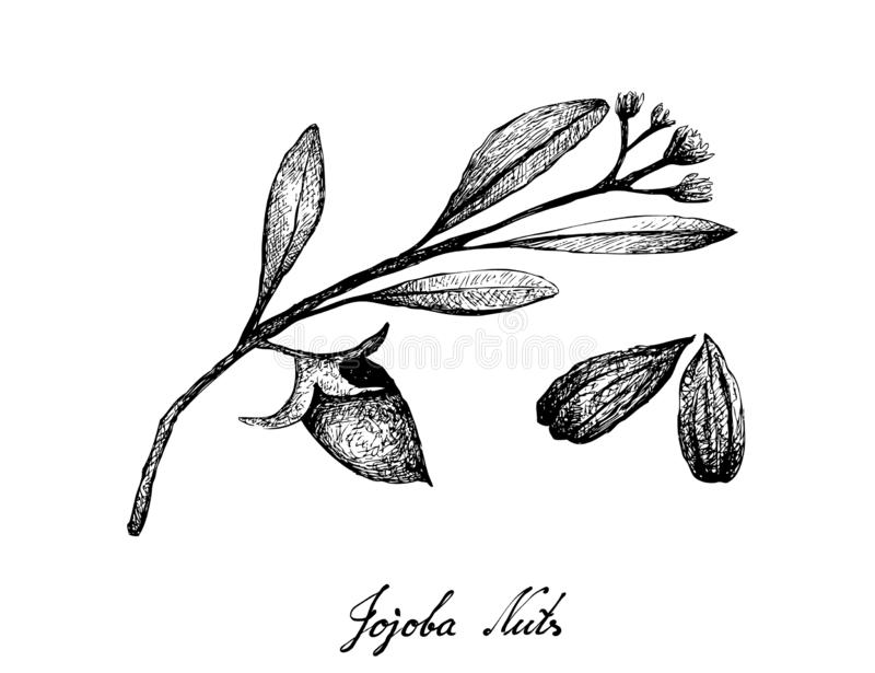 Hand Drawn of Jojoba Nuts and Seed. Illustration of Hand Drawn Sketch Simmondsia Chinensis or Jojoba Nuts and Seed, Used to Treat Acne, Psoriasis, Sunburn and stock illustration