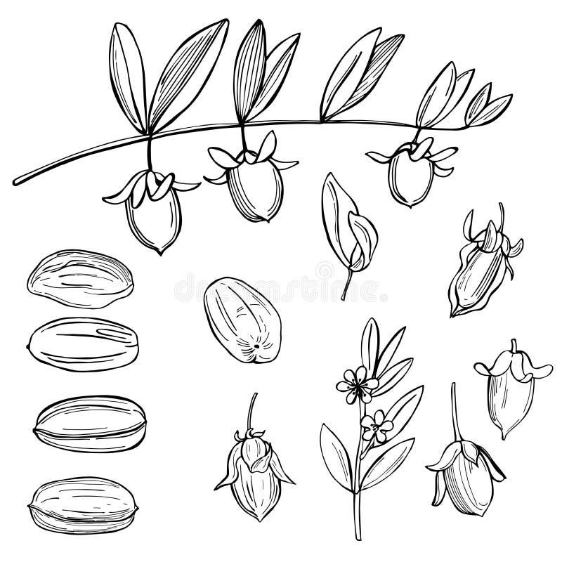Jojoba plants on white background. vector illustration