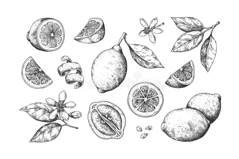 Hand drawn lemon. Vintage citrus slices blossom and fruits, lemon and lime pencil outline sketch for juice labels. Vector engraving illustration summer food stock illustration