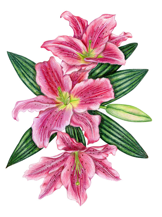 Download Hand-drawn Lily Flowers Stock Images - Image: 32877274