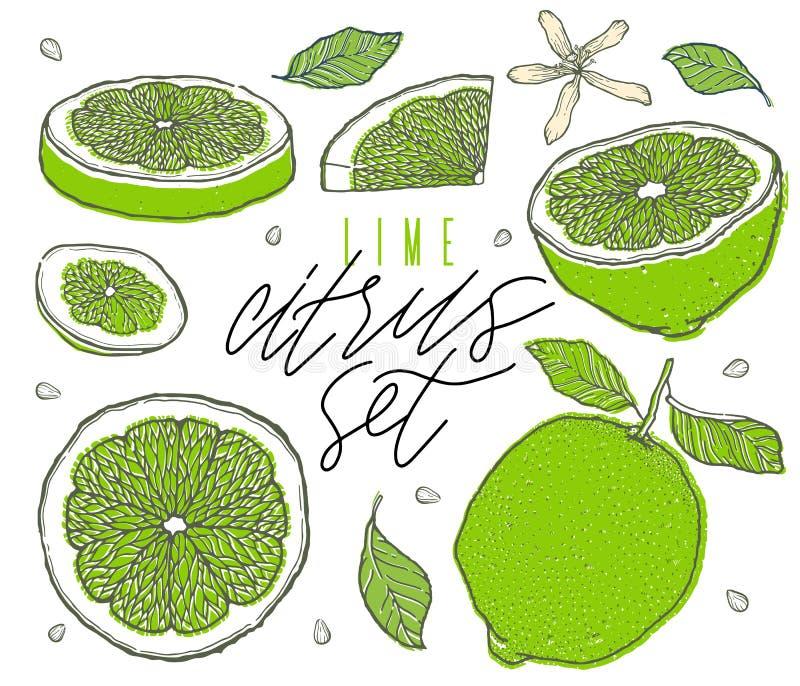 Hand drawn lime fruit set. Cut, slice, half, whole. Vintage style. Scetch illustration. Detailed citrus drawing stock illustration