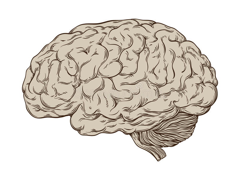 Hand drawn line art anatomically correct human brain. Isolated vector illustration. vector illustration
