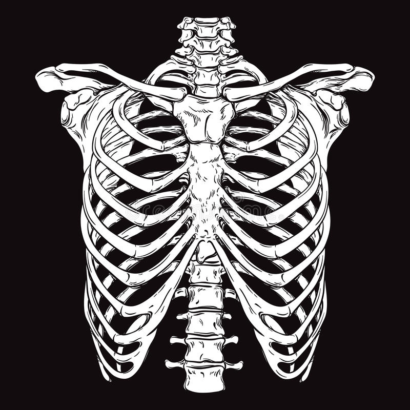Free Hand Drawn Line Art Anatomically Correct Human Ribcage. Royalty Free Stock Images - 74369679