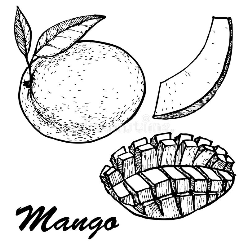 Hand drawn mango fruits set with leafs and mango slices and cubes. Botanical mango fruit illustration. Vector vector illustration