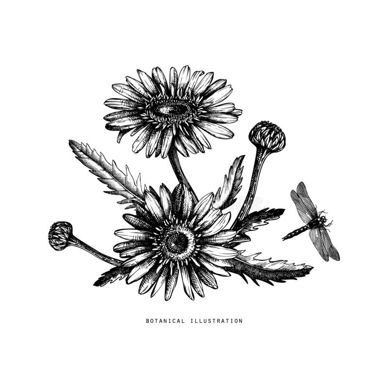 Hand drawn medical plant sketch. Vector botanical illustration of chamomile flower isolated on white. Black and white lineart. Dr. Agonfly drawing stock illustration