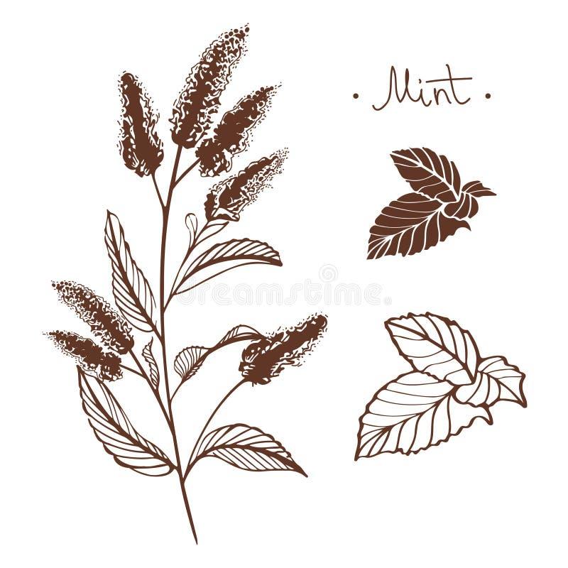 Hand drawn mintn flowers vector illustration royalty free stock photo