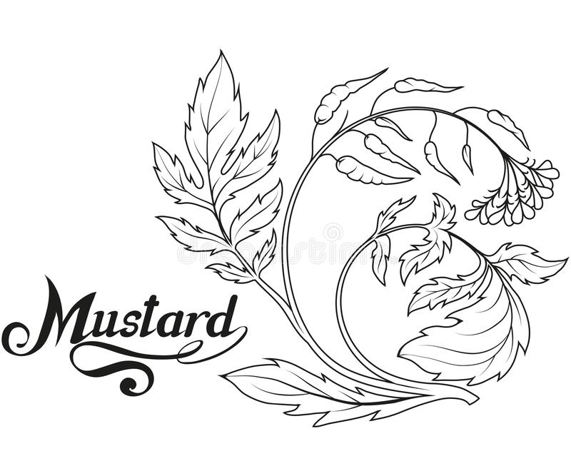 Hand drawn mustard plant, spicy ingredient, mustard logo, healthy organic food, spice mustard isolated on white background. Culinary herbs, label, food stock illustration