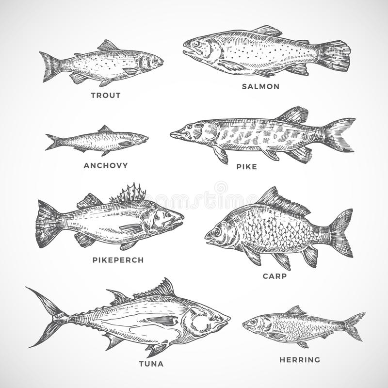 Hand Drawn Ocean or Sea and River Fish Set. A Collection of Salmon and Tuna or Pike and Anchovy, Herring, Trout, Carp. Sketches Silhouettes. Engraving Style vector illustration