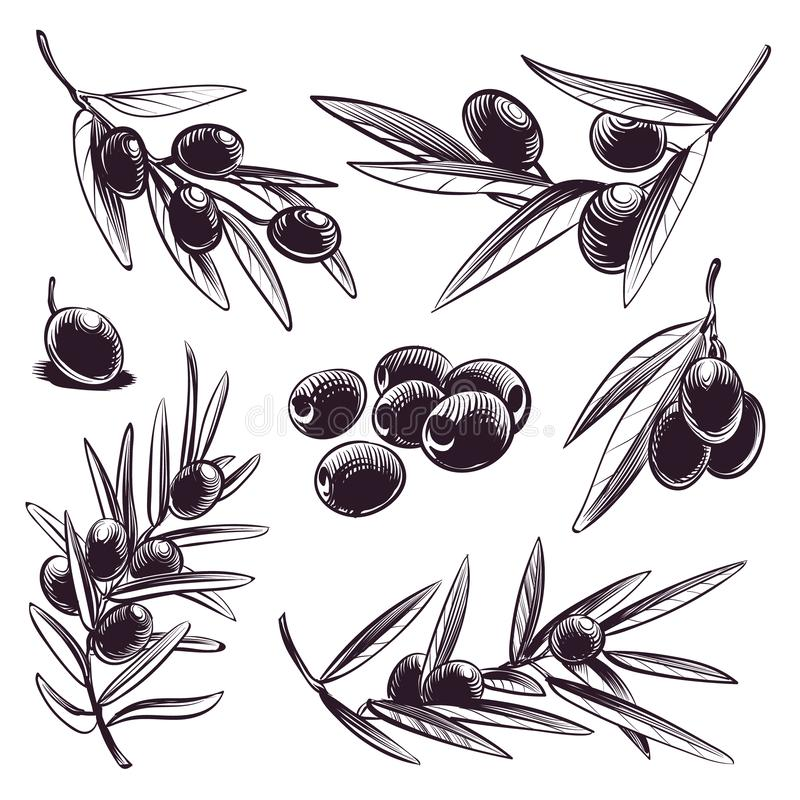 Hand drawn olive. Tree brunches with olives and leaves. Vintage sketch vector greece and spain food engraved collection stock illustration