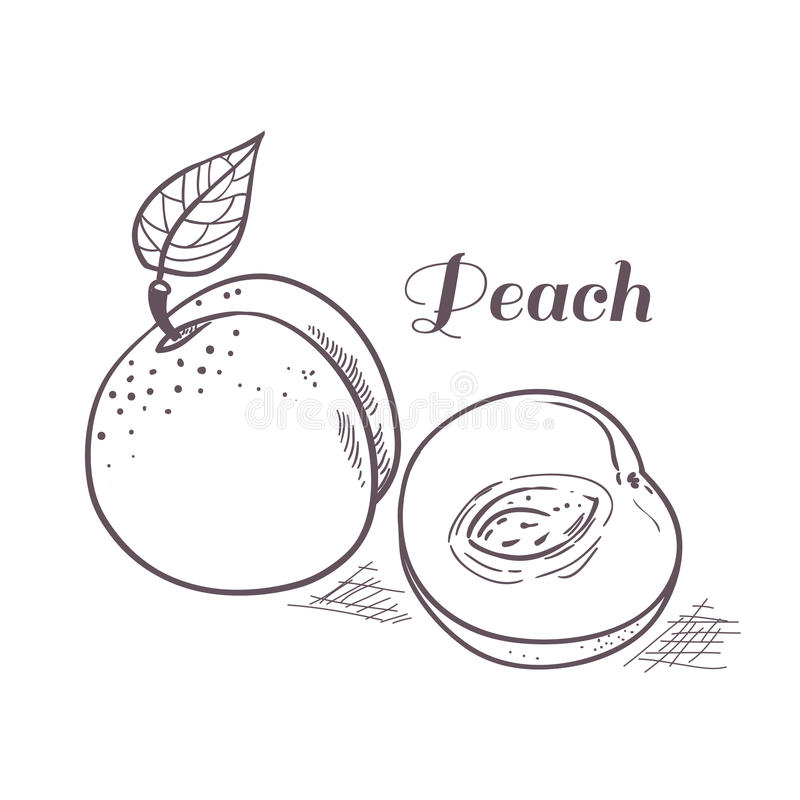 Hand drawn outline peach with slice. Vector illustration vector illustration