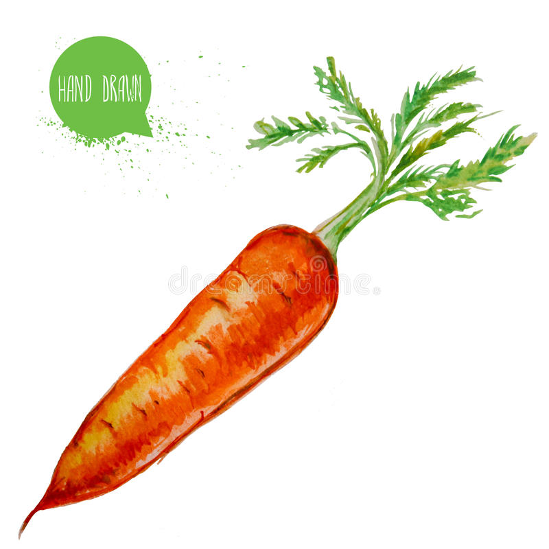 Hand drawn and painted watercolor ripe carrot with leafs. Root isolated on white background. vector illustration