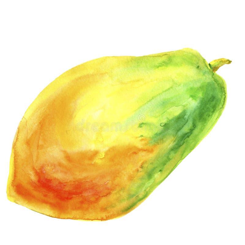 Hand drawn papaya watercolor. Tropic fruit watercolor painting. Papaya slice isolated on white background. Fresh health. Style botanical illustration vector illustration