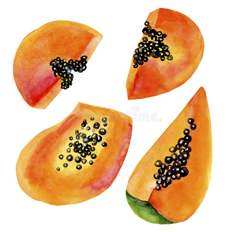 Hand drawn papaya watercolor. Tropic fruit watercolor painting. Papaya slice isolated on white background. Fresh health royalty free illustration