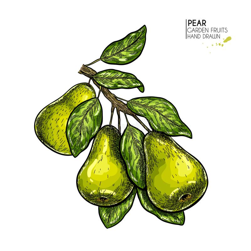 Hand drawn pear branch. Vector colored engraved illustration. Juicy natural fruit. Food healthy ingredient. For cooking. Cosmetic package design, medicinal royalty free illustration