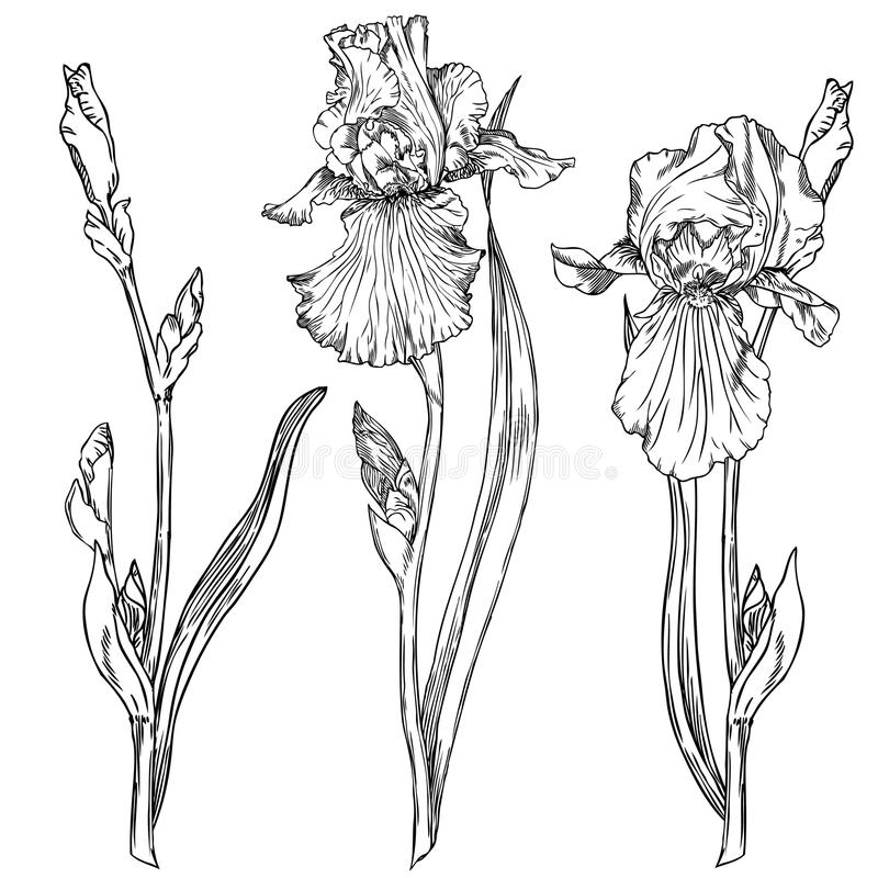 Iris flowers. Hand drawn pen and ink iris flowers botanical illustration. Colors can be changed easily. Flowers are separate groups stock illustration