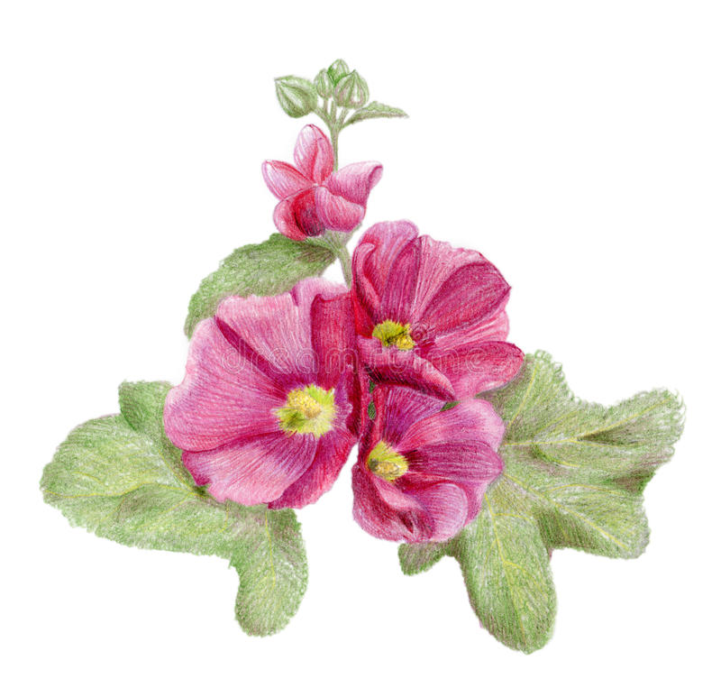 Download Hand-drawn Pink Mallow Flowers Stock Illustration - Image: 28653811