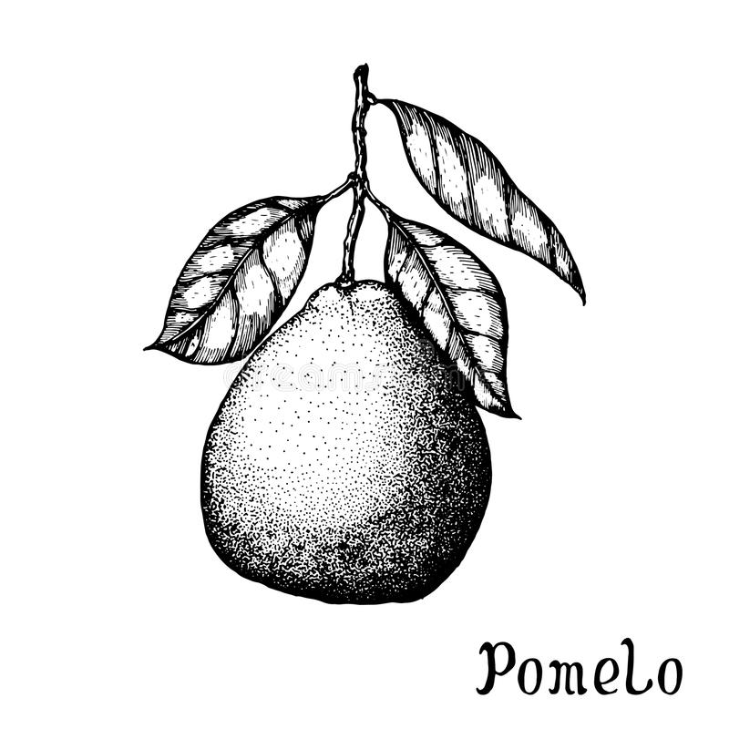 Hand drawn pomelo isolated on white background. Vector illustration of highly detailed citrus fruits royalty free illustration
