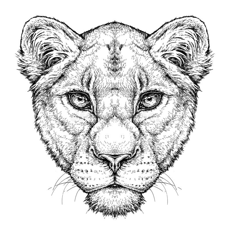 Free Hand Drawn Portrait Of Lioness. Vector Illustration Isolated On White Stock Images - 115377074